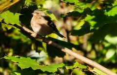 Under the Fall Light (PuffinArt) Tags: bird norway female nikon sigma pssaro os ave puffinart d200 fringillacoelebs commonchaffinch vandamalvig 120400