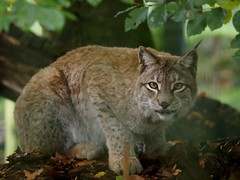 (Unvoyageur) Tags: animals wildcat animaux mammals carnivores chatsauvage mammiferes