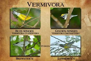 Vermivora Species