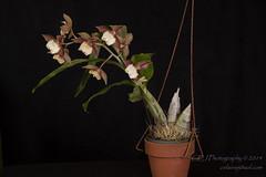 2014-4698_AOSJud_20141010_IMG_0301_CEJ_W.jpg (celainej) Tags: plant orchid green yellow beige cream magenta spot glossy american society matte aos