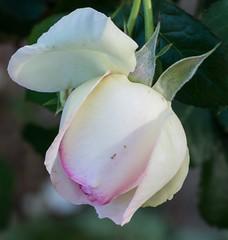 Pierre de Ronsard (KenBrown53) Tags: roses rose pinkrose pierrederonsard pierrederonsardrose