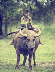 IMG_0699_re (Bugphai ;-)) Tags: boy green nature grass animal rural thailand mammal reading milk buffalo asia rice paddy farm lifestyle vietnam trail thai fields local farmer agriculture pastor livestock sapa indochina lerning
