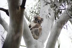 A watchful mama Koala (Saumil U. Shah) Tags: park travel wild tree cute tourism nature animal fauna nationalpark flickr wildlife reserve australia melbourne victoria koala cuddle eucalyptus aussie marsupial sanctuary downunder shah youyangs saumil saumilshah