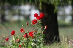 Red Dahlias_8975 (Mike Head -Jetwashphotos) Tags: dahlias reddahlias