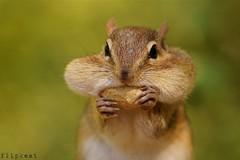 Cheek to Cheek (flipkeat) Tags: portrait nature animal interesting funny wildlife sony chipmunk eastern chippy tamias a500 dailynaturetnc13