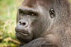 2014-09-15-11h24m08.272P1418 (A.J. Haverkamp) Tags: berlin germany zoo gorilla tiergarten ivo berlijn dierentuin westelijkelaaglandgorilla httpwwwzooberlinde dob29011988 pobmunichgermany canonef500mmf4lisiiusmlens