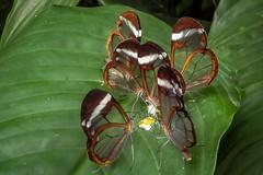 2014 Greta Oto-Glasvleugel Vlinder (hans.dekeling) Tags: butterfly greta oto gretaoto vilnder glasvleugel