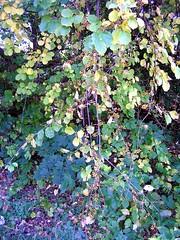 Oriental Bittersweet (mudder_bbc) Tags: autumn newyork fall vines berries parks troy nightshade bittersweet poisonous invasivespecies frearpark