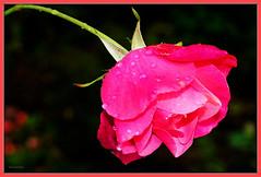 Flower - Rose (Karabelso) Tags: red flower macro rot water rose garden drops blossom sony rosa makro blüte garten wassertopfen