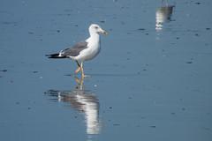 De paseo (donseveriano) Tags: bird beach birds huelva playa aves andalucia panasonic ave pajaros pajaro puntadelmoral fz28 gaviotaaves