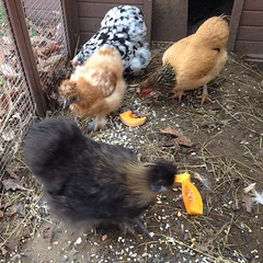 "One of my Thanksgiving recipe experiments from last night featured butternut squash. It was delicious and our hens were thrilled to eat the scraps this morning! • <a style=""font-size:0.8em;"" href=""http://www.flickr.com/photos/54958436@N05/15571354357/"" target=""_blank"">View on Flickr</a>"