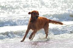 Beach Dog (Desmojosh) Tags: ocean city dog beach water canon eos sand nj l usm 56 70d 400mml