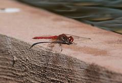Nomad - Red Veined Darter Dragonfly (Chris Bainbridge1) Tags: morocco marrakech sympetrum fonscolombii tajpalacehotel