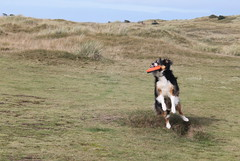 And a Neat Little Turn for the Camera! (sharongellyroo) Tags: holidays dunes norfolk bordercollie ki wintertononsea