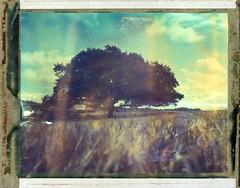 (Matt Chalky Smith) Tags: tree polaroid cornfield expired crowngraphic type59 t59 roidweek