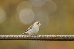 _DSC0610 (Putneypics) Tags: autumn bird vermont sparrow migration putneypics
