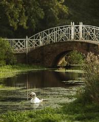 Swan Lake (Explored) (Neil W2011) Tags: bridge autumn reflection sunshine swan haze nikon essex markshall d7000