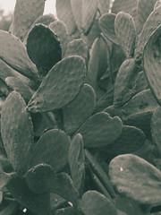 Still Life photo for interior design - #2 prickly pear leaves (Stefano Reves) Tags: life camera trees decorations blackandwhite bw tree art nature leaves print design photo leaf still artistic furniture interior fineart decoration natura canvas hasselblad e pear medium format bianco prickly nero furnishings furnishing morta