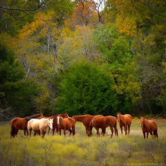 Fall Huddle (RRP Photography) Tags: autumn horses fall colors caballos texas fallcolors gainesville colores fallfoliage otoño forests bosques northtexas redrivervalley gainesvilletx borderfx