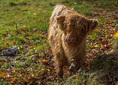 Derpy Highland Cow (AO'D) Tags: park cute cow cattle glasgow highland pollok derp