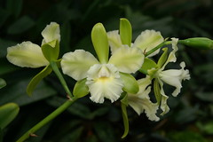 Epicatttleya Siam Jade (rolf_leon) Tags: orchids cattleya orchideen epicattleya
