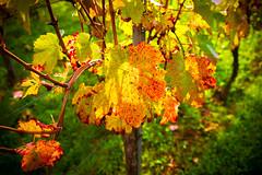 Herbst (lumennaturale) Tags: deutschland badenwrttemberg tamron2870f28 beutelsbach