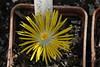 IMG_0395 (BobTravels) Tags: plant stone bob lithops lithop messem bobwitney