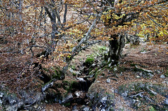 Hayedo de La Predrosa (ipomar47) Tags: wood espaa forest spain woods pentax bosque segovia beech k5 haya riaza pedrosa castllaleon
