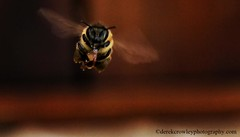 flight through the light (www.derekcrowleyphotography.com) Tags: macro insect wildlife australian australia bee bumblebee aussie australianwildlife insectmacro beemacro australianbee australiabee