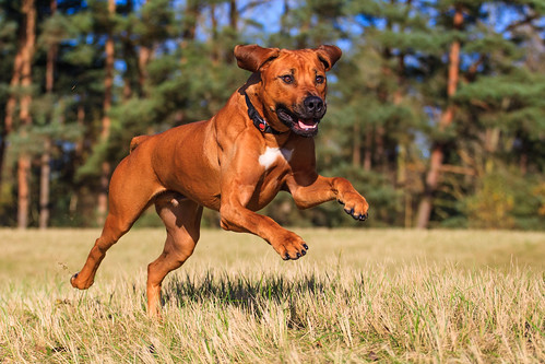 "Rhodesian Ridgeback • <a style=""font-size:0.8em;"" href=""http://www.flickr.com/photos/56274740@N08/15740752412/"" target=""_blank"">View on Flickr</a>"