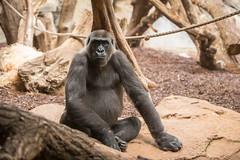 2014-09-22-13h29m30.BL7R9728 (A.J. Haverkamp) Tags: germany zoo gorilla shira frankfurt dierentuin westelijkelaaglandgorilla canonef70200mmf28lisusmlens pobstuttgartgermany httpwwwzoofrankfurtde dob28082004