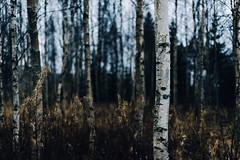 (J.Partanen) Tags: autumn trees nature 50mm nikon sigma d750 birch vsco