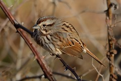 Responding To A Cold Wind (Odonata457) Tags: song sparrow melospizamelodia