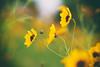 November (ricdovalle) Tags: flores flowers amarelo yellow verde green novembro november natureza nature sony alpha a6000 sel50f18 50mm ilce6000