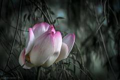 Fior di loto primo piano (FolleMente) Tags: natura lotus fiordiloto nature grazie lombardia italia it