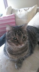 [Reunited] Mon, Sep 26th, 2016 Lost Male Cat - Chestnut Grove, Kingswood, Dublin (Lost and Found Pets Ireland) Tags: lostcatchestnutgrovedublin lost cat chestnut grove dublin september 2016