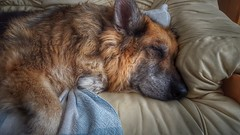 Dog tired. (Innerleithen man) Tags: couch samsung samsunggalaxys6edge android cameraphone smartphone hdr snapseed germanshepard gsd sleeping snooze nap
