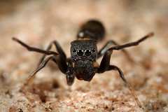 Ant mimic (Lacewing!) Tags: arachtober myrmarachne myrmecomorphy sydney nsw australia