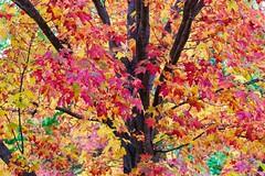 Fall Foliage at the Arnold Arboretum ((Jessica)) Tags: autumn pw seasonal foliage massachusetts seasons trees boston fall arboretum arnoldarboretum newengland