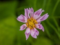 Pink Flower (Phet Live) Tags: phet live macro a2 dimage