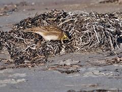 Horned Lark Foraging (Bill Bunn) Tags: hornedlark capeelizabeth maine