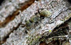 Terça-natureza (macromundo) (sonia furtado) Tags: terçanatureza macromundo macro close soniafurtado frenteafrente formiga inseto nanaturezainnature