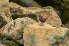 Rocky Wren (jonathan_siberry) Tags: wren troglodytes bird birds ornithology fauna grafham water nature reserve wildlife