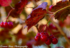 Red Berries (vernonbone) Tags: 105mm 2016 autumn d3200 eastpoint eastpointpark ice january2016 lens march2016 november ontario birds closeup landscape macro marco105mm marco105mmsigma nikon outside sigma street macrodreams