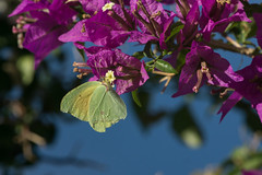 Cleopatra meets Bougainvillea (finor) Tags: sony a6000 alpha ilce6000 sal70400g2 nature insect butterfly yellow cleopatra bougainvillea elba zitronenfalter