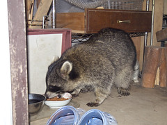 Common raccoon (over_frost) Tags:  common raccon  japan  saitama  sayama autumn  10