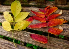 Sumac  colors (minnetonkafelix) Tags: sumac autumn leaves