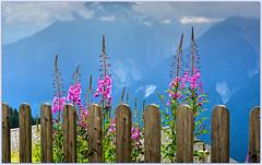 pilobes avec vue    Epilobium with a view (www.nathalie-chatelain-images.ch) Tags: montagne mountain fleurs flowers pilobes epilobium barrire fence nikon fencedfriday