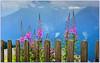épilobes avec vue  🌸  Epilobium with a view (www.nathalie-chatelain-images.ch) Tags: montagne mountain fleurs flowers épilobes epilobium barrière fence nikon fencedfriday