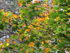 5166 Autumn colour at Llyn Parc Mawr forest (Andy - Daft as a brush - don't ask!) Tags: 20161025 autumncolour ggg green leaves lll llynparcmawr ooo orange sss sycamore trees ttt
